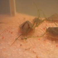 Triops cancriformis