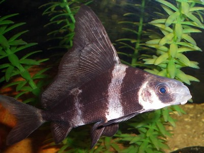 Myxocyprinus asiaticus for Peces de agua dulce fria